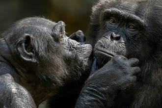 黑猩猩和人類的最大區別:垃圾DNA!