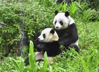 北市動物園大貓熊貪吃茄苳果 今年「圓寶」也加入拆樹行列