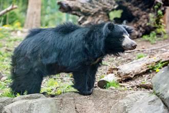 懶熊遇豹秒轉備戰模式 反被當空氣 不甘心反應萌翻