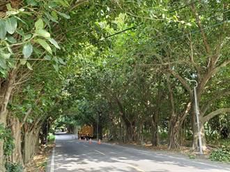崙背打卡熱點「孟加拉榕綠色隧道」將修剪 盼外地人理解