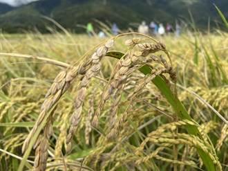 台東稻米染怪病淪「空包彈」 老農民:從沒看過這情況