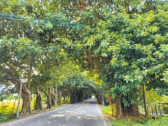 綠色隧道美麗的苦惱 路樹將修剪