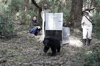 台灣黑熊「Mulas」重返山林紀錄片 台東縣海端鄉首映會登場