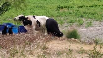 沒看錯!彰化3隻牛「離家出走」放風吃草逛大街 駕駛經過看傻眼