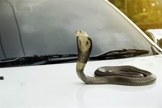 眼鏡蛇卡汽車冷氣口女嚇壞 捕蛇達人驚:第一次看到