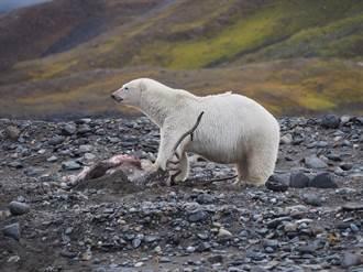北极熊饿坏到陆地猎驯鹿 科学家首次录下杀戮过程