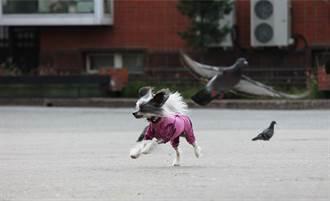 腿瘫痪幼犬紧抱无法飞的鸽子 同病相怜感动眾人