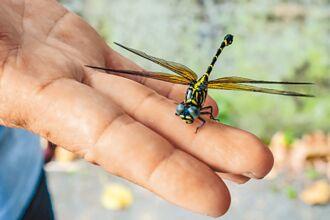 竹縣低海拔蜻蜓目特展 體驗溪流生態