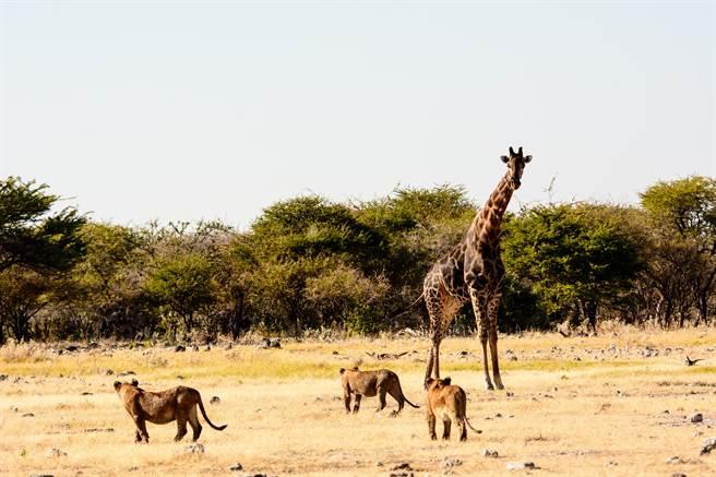 长颈鹿遇6狮围攻没在怕 淡定拖着走 靠2脚轻松逆转